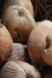 O grupo de coco seco Foto de Stock