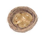 O grupo de codorniz manchou ovos no ninho gramíneo Imagem de Stock