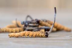 O grupo de cordyceps do cogumelo ou de sinensis de Ophiocordyceps isto é ervas na tabela de madeira Propriedades medicinais no tr imagens de stock
