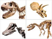 O grupo de dinossauros T-Rex de esqueleto, Diplodocus, Triceratops, no branco isolou o fundo Imagem de Stock