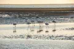 O grupo de flamingos cor-de-rosa e brancos está movendo-se ao longo de uma costa Foto de Stock Royalty Free