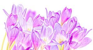 O grupo de grande açafrão lilás floresce no branco Foto de Stock Royalty Free