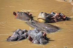 O grupo de hipopótamos submergiu no rio no Serengeti Fotografia de Stock Royalty Free