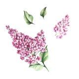 O grupo de imagens das flores e das folhas do lilás Ilustração da aguarela Fotos de Stock