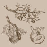 O grupo de jardim frutifica estilo da gravura Isolado no fundo Ilustração tirada do estilo mão retro Ramo da ameixa do vintage Imagem de Stock