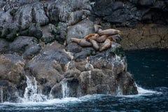 o grupo de leões de mar estelares descansa em rochas no oceano ártico Foto de Stock