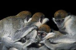O grupo de macacos que sentam-se em seguido perto de se isolou o Fotos de Stock