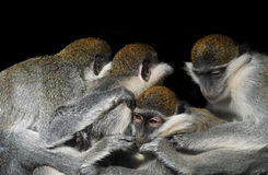 O grupo de macacos que sentam-se em seguido perto de se isolou o Fotos de Stock Royalty Free