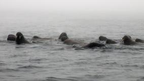 O grupo de morsas está flutuando na água na névoa do oceano ártico em Svalbard filme