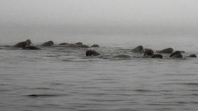 O grupo de morsas está flutuando na água na névoa do oceano ártico em Svalbard video estoque