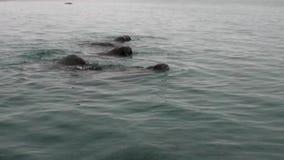 O grupo de morsas mergulha na água do oceano ártico em Svalbard video estoque