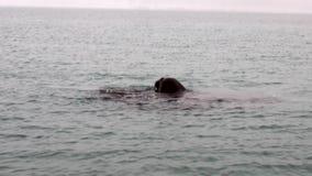 O grupo de morsas mergulha na água do oceano ártico em Svalbard filme