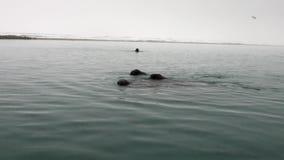 O grupo de morsas nada na água azul fria do oceano ártico em Svalbard filme