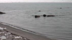 O grupo de morsas nada na água azul fria do oceano ártico em Svalbard vídeos de arquivo