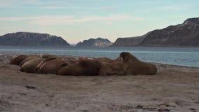 O grupo de morsas relaxa na costa do oceano ártico em Svalbard filme