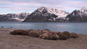 O grupo de morsas relaxa na costa do oceano ártico em Svalbard vídeos de arquivo