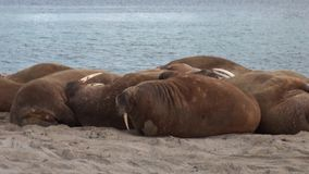 O grupo de morsas relaxa na costa do oceano ártico em Svalbard video estoque