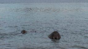 O grupo de morsas relaxa na costa próxima da água do oceano ártico em Svalbard filme