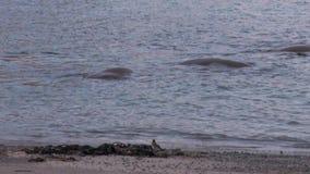 O grupo de morsas relaxa na costa próxima da água do oceano ártico em Svalbard vídeos de arquivo