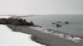O grupo de morsas relaxa perto da água na costa da neve do oceano ártico em Svalbard filme