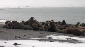 O grupo de morsas relaxa perto da água na costa da neve do oceano ártico em Svalbard video estoque