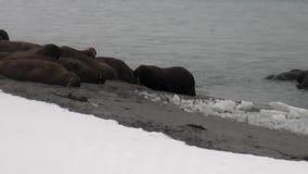 O grupo de morsas relaxa perto da água na costa da neve do oceano ártico em Svalbard vídeos de arquivo