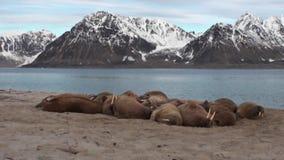 O grupo de morsas relaxa perto da água na costa do oceano ártico em Svalbard filme
