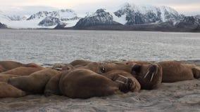 O grupo de morsas relaxa perto da água na costa do oceano ártico em Svalbard vídeos de arquivo