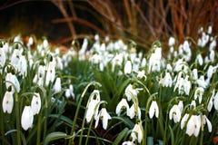 O grupo de nivalis comuns de Galanthus dos snowdrops focalizou seletivamente foto de stock