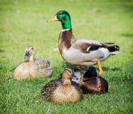 O grupo de pato selvagem ducks no gramado verde Imagem de Stock