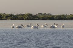 O grupo de pelicano branco americano nada para fora fotografia de stock royalty free