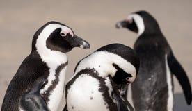 O grupo de pinguins africanos na areia em pedregulhos encalha em Cape Town, África do Sul fotos de stock