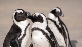 O grupo de pinguins africanos na areia em pedregulhos encalha em Cape Town, África do Sul fotografia de stock royalty free