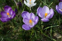 O grupo de primeira mola floresce - a flor roxa dos açafrões fora Fotografia de Stock