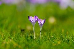 O grupo de primeira mola floresce - a flor roxa dos açafrões fora Fotos de Stock