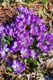 O grupo de primeira mola floresce - a flor roxa dos açafrões fora Foto de Stock