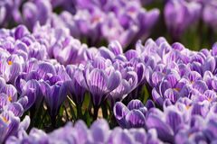 O grupo de primeira mola floresce - a flor roxa dos açafrões fora Foto de Stock Royalty Free