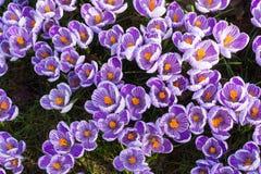 O grupo de primeira mola floresce - a flor roxa dos açafrões fora Imagens de Stock Royalty Free