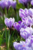 O grupo de primeira mola floresce - a flor roxa dos açafrões fora Fotografia de Stock Royalty Free