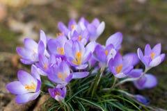 O grupo de primeira mola floresce - a flor roxa dos açafrões fora Imagem de Stock