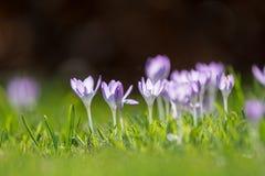 O grupo de primeira mola floresce - a flor roxa dos açafrões fora Imagens de Stock