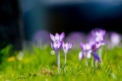 O grupo de primeira mola floresce - a flor roxa dos açafrões fora Fotos de Stock Royalty Free