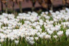 O grupo de primeira mola floresce - o outsi branco grande da flor dos açafrões Imagens de Stock