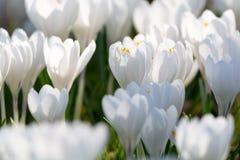 O grupo de primeira mola floresce - o outsi branco grande da flor dos açafrões Fotografia de Stock