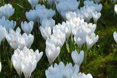 O grupo de primeira mola floresce - o outsi branco grande da flor dos açafrões Fotografia de Stock Royalty Free