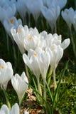 O grupo de primeira mola floresce - o outsi branco grande da flor dos açafrões Foto de Stock Royalty Free