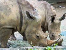 O grupo de rinocerontes fecha-se acima Imagens de Stock