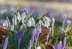 O grupo de snowdrops e de açafrão floresce na primavera Fotografia de Stock Royalty Free