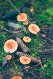 O grupo de tampão alaranjado do leite cresce rapidamente na floresta Fotografia de Stock Royalty Free