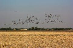 O grupo de terra comum cranes o grus do grus do voo do céu azul Foto de Stock Royalty Free